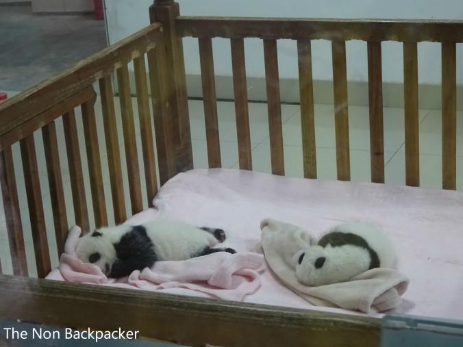 Baby Panda Twins. SO cute.